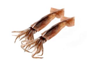 calamar illex